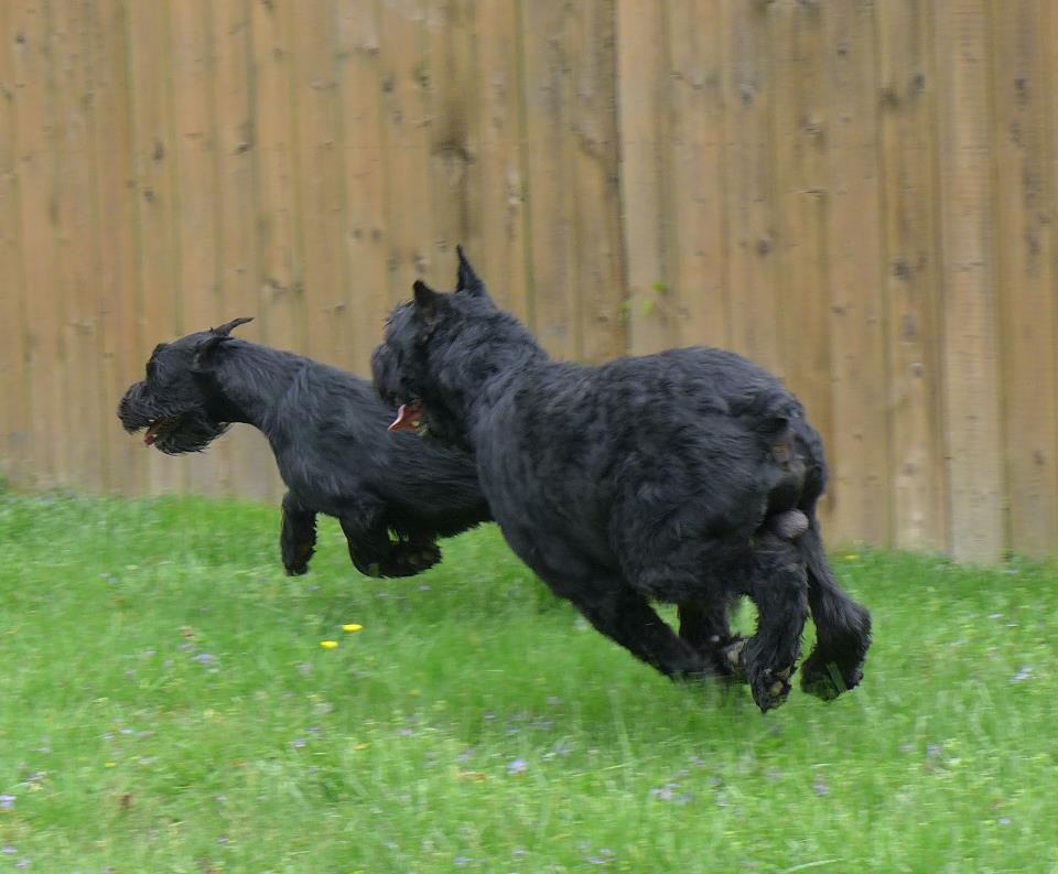 Giant Schnauzers having fun