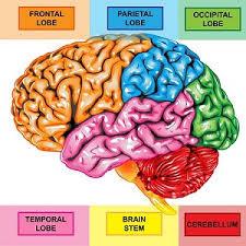 brain health 4--parts of brain