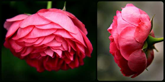 2012 07 14_Rose Collage.jpg