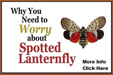 spotted-lanternfly-1.jpg