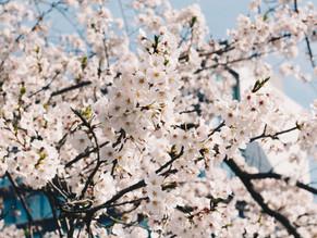 桜の見所スポットと美しさについて