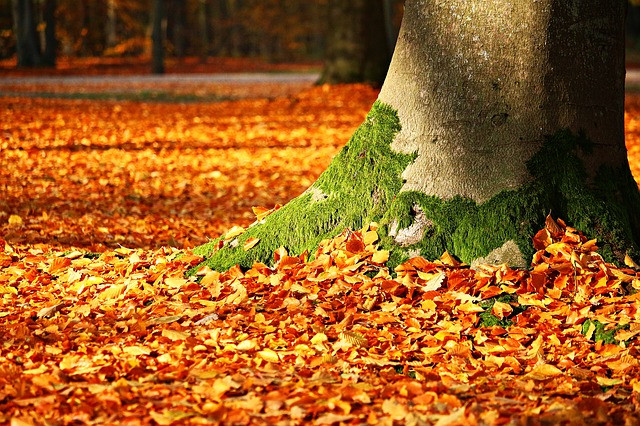 autumn leaves around mossy tree trunk