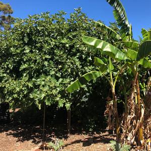 100 year old Fig Tree.jpg