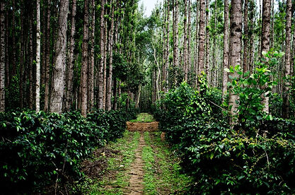 Chikmangalur Coffee Plantation.jpg