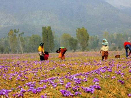Kashmiri Saffron - Ready to take on the world