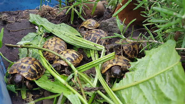 Schilkröten fressen Löwenzahn und Spitzwegerich