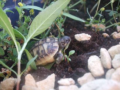 Baby Schildkröte