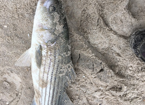 Stripers on the Sand
