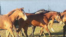 yearling, fillies, thoroughbred
