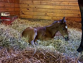 Noble Mission (GB) - Mahkama 2016 colt