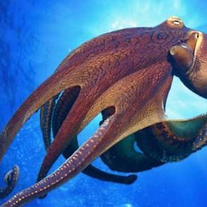 The Octopus (an excerpt)