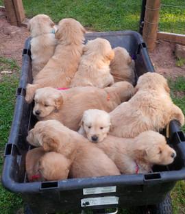 Cart o' pups