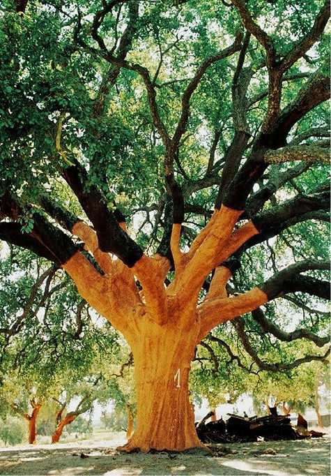 Oldest oak tree in the world