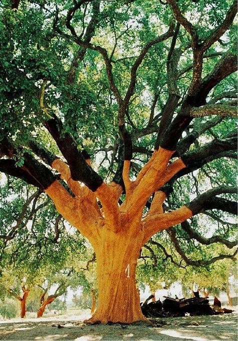 Oldest oak tree in the world