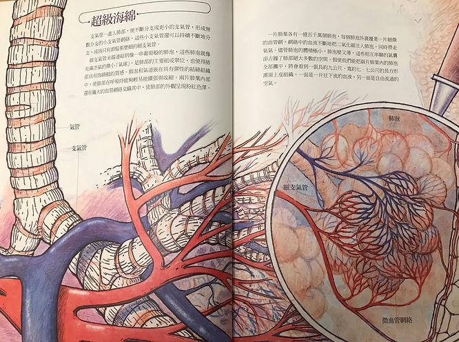 氣管與肺泡.jpg