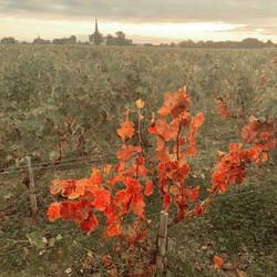 vignes_automne