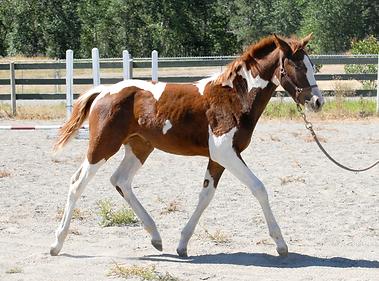 Ricki trot wildie foal for sale