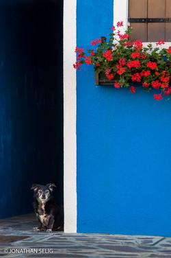 Dog & Blue Wall Geraniums #50