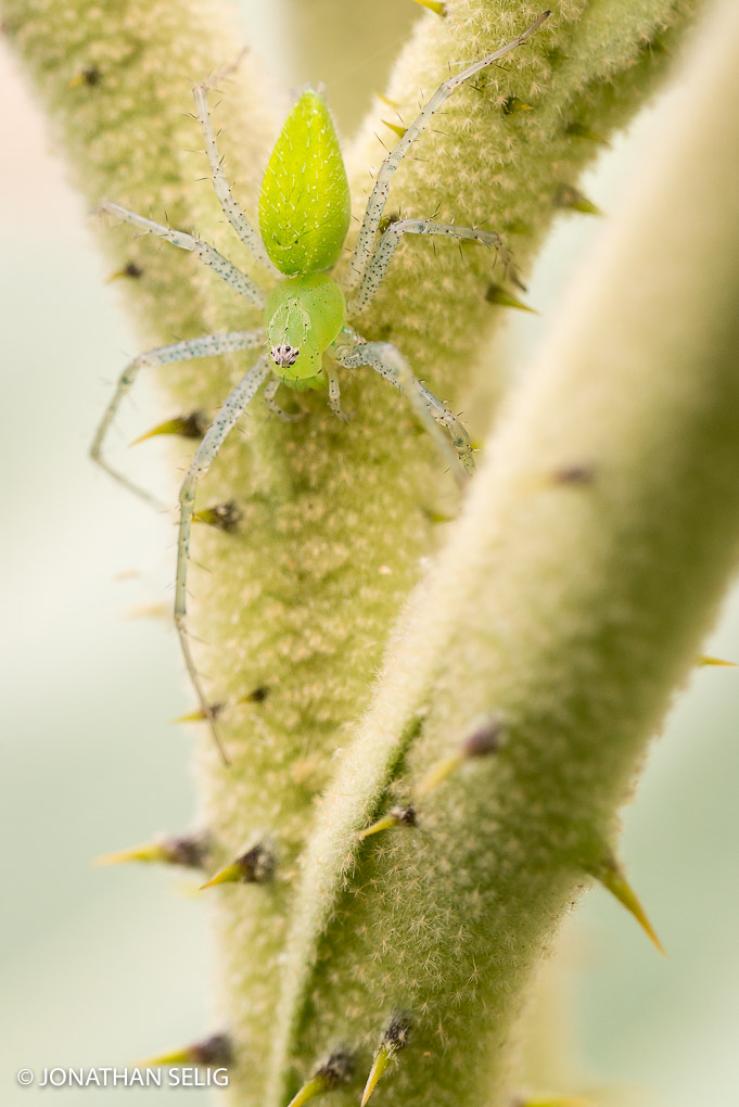 Green Spider & Thorns