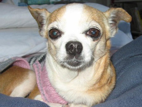 Ay Chihuahua!