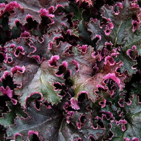 Гейхера 'Purple Petticoats'