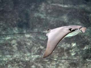 Lawmakers vote to extend moratorium on ray killing contests