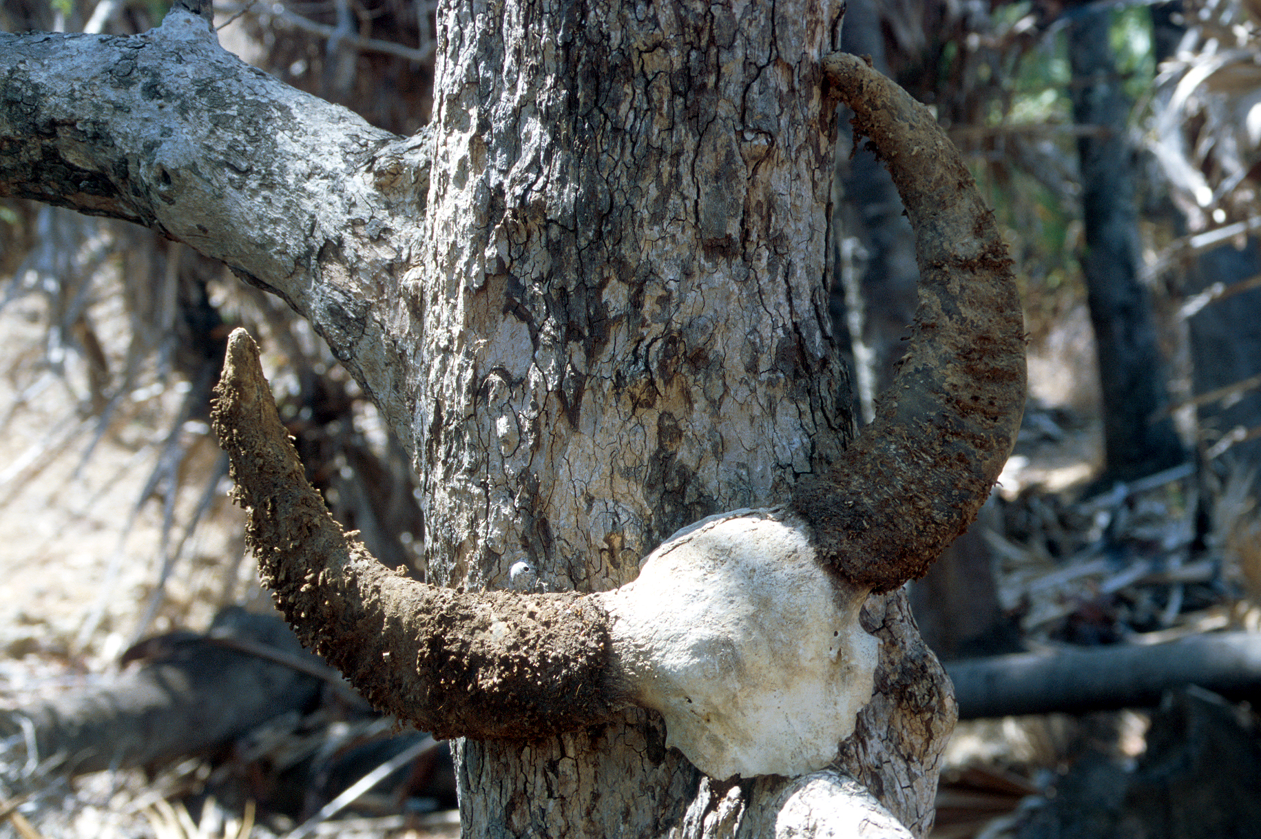 061-Komodo-Nationalpark-Rinca-Schaedel