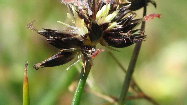 Brown-Headed Rush - Juncus phaeocephalus