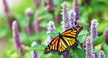 Monarch%20on%20purple%20flower_edited.jp