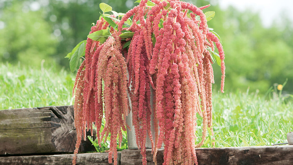 Amaranthus Coral Fountain - Seeds