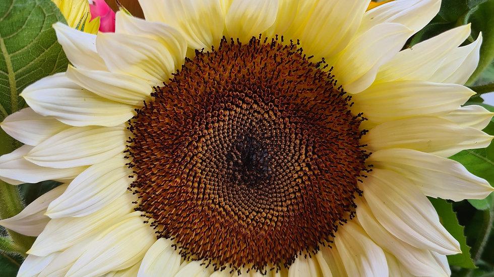 Sunflower White - Seeds