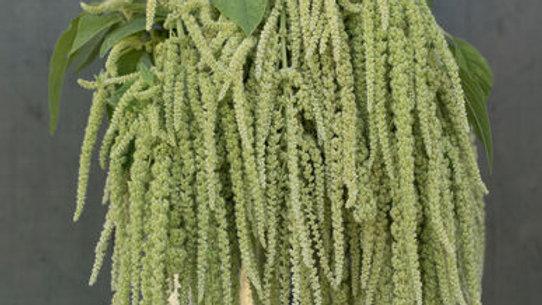 Amaranthus Emerald Tassels - Seeds