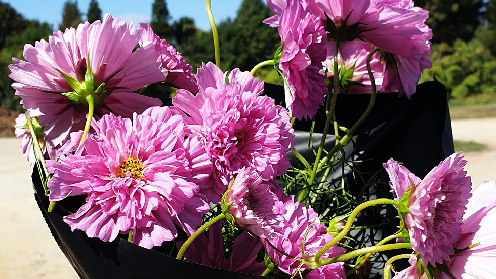 Cosmos Double Rose - Seeds