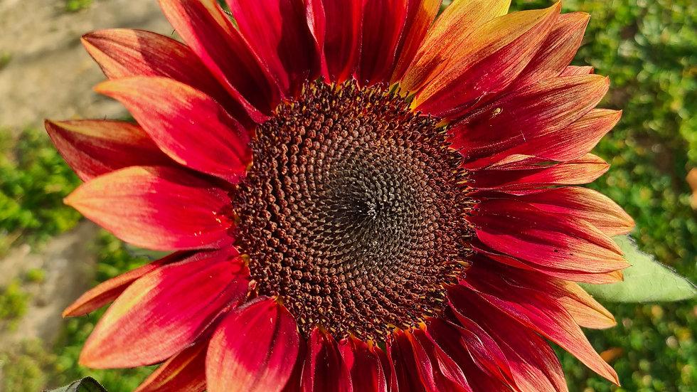 Sunflower Plum - Seeds