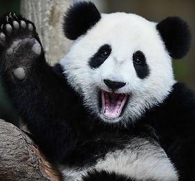 Smithsonian National Zoo presents live webcams for pandas, elephants, lions and naked mole rats!