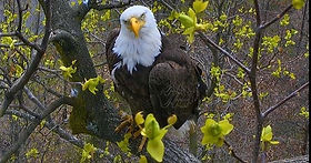 Eagle Cam - Watch this pair of eagles and their two babies!