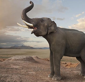 Learn Trumpeting, Rumbling, and Roaring Sound Effects of Elephants