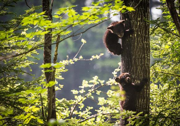 Black Bear Cubs #2