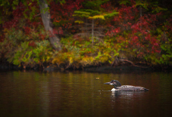 Loon in Dark Waters