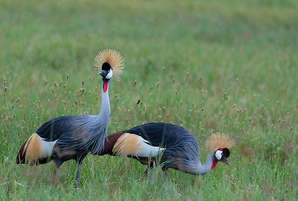 Rain & the Grey Crowned Crane