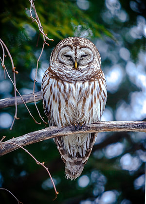 Northern Barred Owl #2