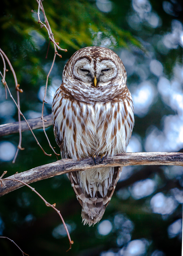 Barred Owl Braving the Cold.