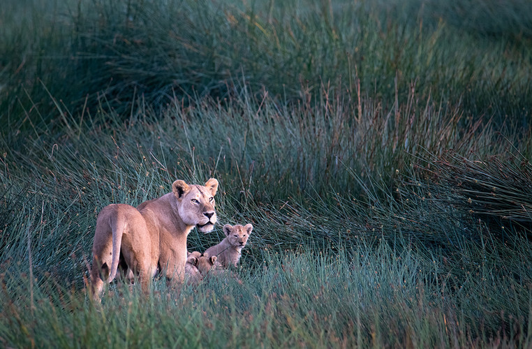Lions in the Reed Grass