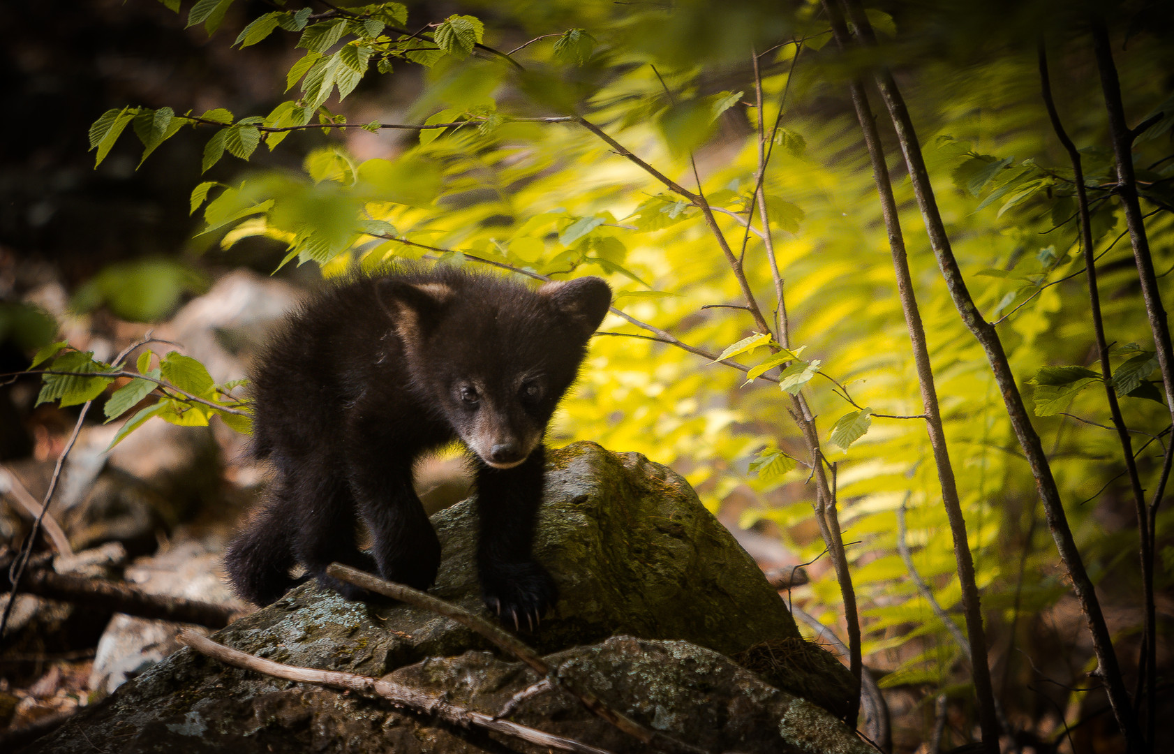 Wild Cub.