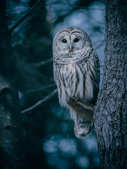 Owl in the Dark Timber