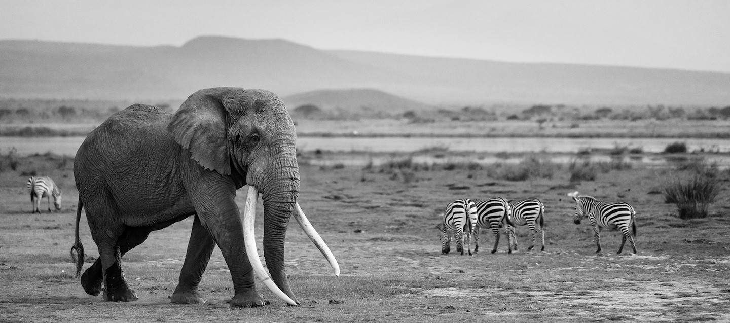Last of the Great Tuskers