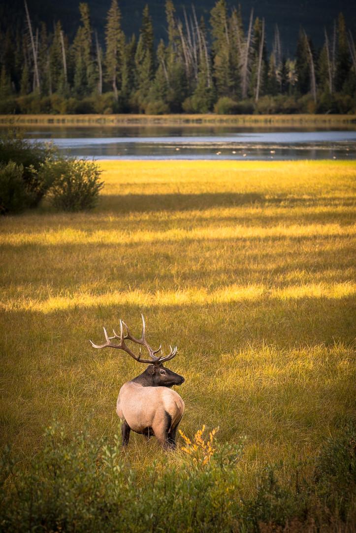 Bull Elk at Vermilion Lake