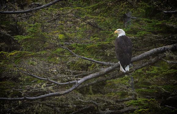 Bald Eagle in Coastal BC