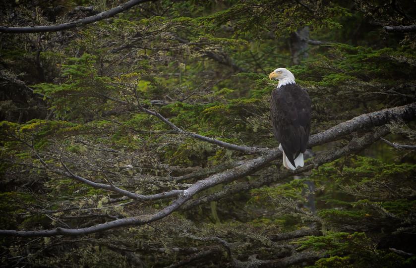 Majestic Bald Eagle along the Coast of BC