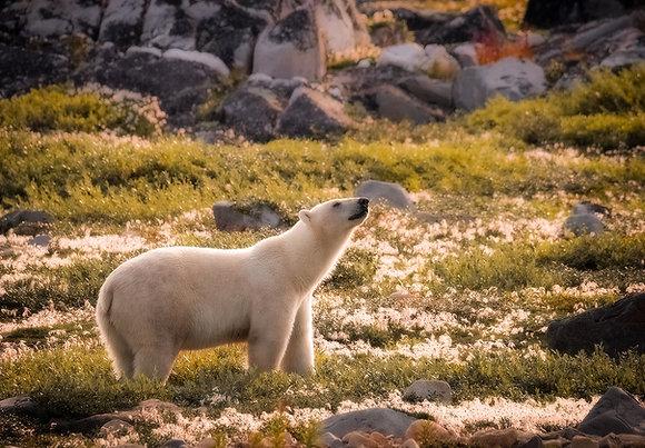 Ice Bear amongst Arctic Cotton Bloom